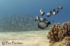 Forced perspective (bodiver) Tags: fish coral hawaii ambientlight wideangle snorkeling freediving schools kona fins kailua akule