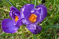 Happy to see the sun (joeke pieters) Tags: flower purple ngc crocus npc krokus paars bloem platinumheartaward 1260753 panasonicdmcfz150