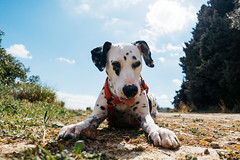 Thirsty girl (Leo Hidalgo (@yompyz)) Tags: dog pet cute love film animal photography random cam sony like explore create iv dalmatian m4 fotografa dlmata rx100 vsco ileohidalgo yompyz