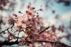 20160306-DSC_6125 (Kay's...) Tags: cherryblossom sakura   wuling wulingfarm