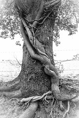 20160319-ROTL2036 Large Ivy  Roots on Oak Trunk Church Hill Inkberrow Worcestershire_.jpg (rodtuk) Tags: england plant nature mono places 7d kit worcestershire midlands churchhill phototype b23 inkberrow
