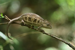 (Leela Channer) Tags: wood brown green nature leaves animal female branch kenya bokeh reptile lizard camouflage chameleon baringo kabarnet tugenhills sidestripedchameleon