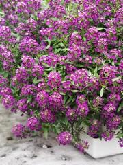 Cascading Purple Alyssum (CH-Scenes) Tags: flowers alyssum annuals trailling wonderlandpurple