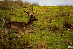 Running Stag (MrStuy) Tags: animal closeup landscape stag wildlife running deer antlers nationaltrust reddeer knolepark