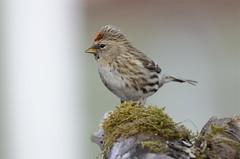 Auðnutittlingur - Redpoll - Carduelis flammea (oskar.sigurmundason) Tags: birds island iceland nikon ngc birding sigma national geographic redpoll carduelis flammea auðnutittlingur d7000 150600