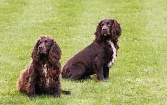 Working Dogs (Ellsasha) Tags: england canine spaniel trained workingdogs humancaninebond