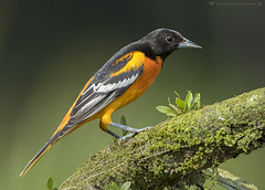 Baltimore Oriole / Icterus galbula (cheloderus) Tags: costa black bird head rica baltimore oriole icterus galbula