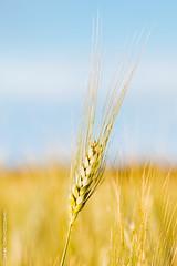 espiga (DANI_TA78) Tags: verde wheat cereal spike cereals cereales dorado trigo 24105 espiga 70d