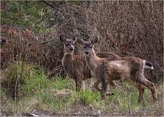 sign of spring (marneejill) Tags: twin deer vancouverisland molting yearlings