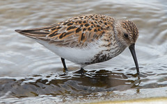 Dunlin (Nicholls of the Yard) Tags: bird nature water wildlife dunlin pitsford wader