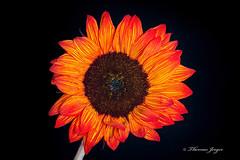California Sunflower on Black 1112 Copyrighted (Tjerger) Tags: portrait orange brown plant flower macro fall nature yellow closeup blackbackground wisconsin petals stem flora sunflower bloom