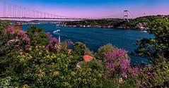 Judas Trees of Bosphorus (BeNowMeHere) Tags: city trip travel bridge sky color nature turkey landscape colorful magic istanbul bosphorus panaromic erguvan judastree cercissiliquastrum 500px magentasky ifttt benowmehere