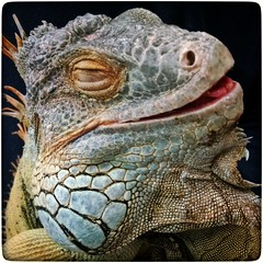 Mr. Iguana (Erbin D'kay) Tags: colorsinourworld