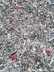 Colus pusillus (Jackson Nugent) Tags: mushroom fungi fungus stinkhorn colus phallaceae phalloid