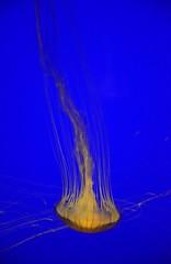 2016-04-02_07-24-01 (nikomoti196767) Tags: fish france larochelle medusa francia acuario yellyfish