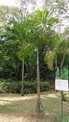 (sftrajan) Tags: colombia palmtrees palmtree jardimbotnico botany botanicgarden botanicalgarden palmera medellin jardnbotnico  ortobotanico palmetum  botanischetuin botanisktrdgrd jardnbotnicodemedelln jardnbotnicojoaqunantoniouribe botanicalgardenofmedelln medellnbotanicgarden