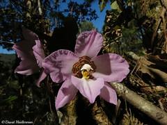 Enfoque sobre las flores de Rhynchostele cervantesii susp. membranacea cultivada sobre un rbol de un jardn (Distribucin: endmica de Mxico y del estado de Oaxaca desde 2000 hasta 3200 m snm), Oaxaca, Mxico (David Haelterman) Tags: orchid mxico mexico oaxaca mexique endemic centralamerica odontoglossum orchide orqudea insitu centroamerica rhynchostele membranacea lemboglossum endmica cervantesii amriquecentrale endmique rhynchostelecervantesii cymbiglossum rhynchostelecervantesiisubspmembranacea