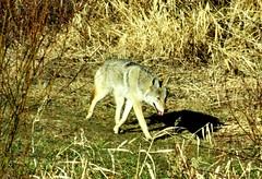 Coyote (Canis latrans) on Bluebird Estates! (peggyhr) Tags: coyote canada alberta canislatrans supershots peggyhr bluebirdestates angelawards level1photographyforrecreation thebestshots niceasitgets~level1 redlevelno1 infinitexposurel1 dsc03756a