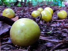 Maracuj  Ribeiro do Agudo  Morro Agudo SP (tiago.jrjoaquim) Tags: nature fruit natureza maracuj exoticfruit morroagudo frutasdobrasil ribeirodoagudo