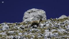 Monte Meta camoscio (Daniele Vettese) Tags: meta natura monte 300 montagna abbruzzo 2242 camoscio