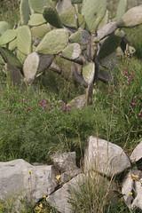 SDIM0020-sd1-  distagon 60mm f3.5- promontorio di Punta Campanella. (ciro.pane) Tags: italien italy primavera italia sigma punta merrill muri foveon secco sd1 rurali campanella