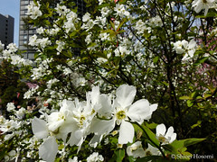 Exochorda racemosa (Shiori Hosomi) Tags: flowers plants japan tokyo march   rosales chaenomeles 2016 rosaceae            23