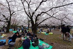 20160405-063-Picnics under Yoyogi-koen cherry blossoms (Roger T Wong) Tags: travel people holiday japan garden balloons tokyo spring picnic crowd harajuku cherryblossoms canonef1740mmf4lusm yoyogikoen 2016 canon1740f4l canoneos6d rogertwong