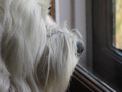 "4/12A ~ ""Riley on the Lookout"" (ellenc995) Tags: riley westie westhighlandwhiteterrier 12monthsfordogs16 focus neighborhood thesunshinegroup rubyphotographer sunrays5 coth5 alittlebeauty fantasticnature supershot akob citrit challengeclub pet100 pet500 anawesomeshot 100commentgroup pet1500 pet1000"