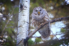 Barred Owl (Peter Stahl Photography) Tags: female spring edmonton owl barredowl
