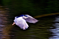 DSC_0194 Flight (tsuping.liu) Tags: bird nature birds animal flying outdoor naturesfinest natureselegantshots