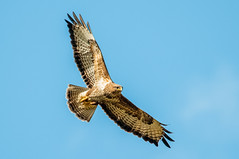Buzzard In Flight (buteo buteo) (phat5toe) Tags: nature birds nikon wildlife flight feathers raptor prey buzzard avian buteobuteo wigan flashes d300 greenheart sigma150500