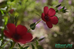 The Flower (watanpaal Photography) Tags: pakistan flower photography quetta baluchistan flowerphotography