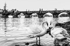 Love Praha (Nikomatt) Tags: bw blancoynegro night blackwhite view prague praha praga czechrepublic charlesbridge biancoenero rivervltava eskrepublika praguecastel fiumemoldava seeingprague moldovaneka