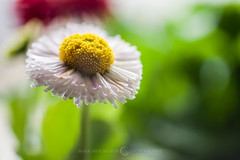 Bellis Perennis (Mark Heslington Photography) Tags: pink red white plant flower green crimson yellow flora daisy bellis perennis