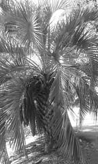 Jelly Palm (sftrajan) Tags: botanicgarden botanicalgarden palmera jardinbotanico jardinbotanique botanischergarten butia arecaceae palmetum botanischetuin butiacapitata jellypalm universityofcaliforniabotanicalgardenatberkeley brazilianplants universityofcaliforniabotanicgarden palmeracapitata