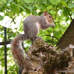 Squirrel (gaiamercury) Tags: park nature animal torino nikon squirrel ngc turin nikonclub nikonclubitalia nikonclubit nikond7200