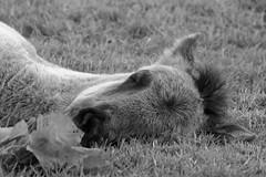 Wild Horses in black-and-white - Foal - 2016-016_Web (berni.radke) Tags: horse pony herd nordrheinwestfalen colt wildhorses foal fohlen croy herde dlmen feralhorses wildpferdebahn merfelderbruch merfeld przewalskipferd wildpferde dlmenerwildpferd equusferus dlmenerpferd dlmenpony herzogvoncroy wildhorsetrack