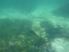 Eagle ray swiming (Figgles1) Tags: beach ray snorkel eagle stingray south snorkeling rays fremantle groyne southbeach stingrays fsc eagleray southfremantle eaglerays fremantlesailingclub p1020038