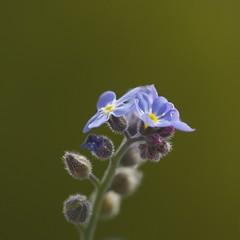 Blue flowers (WillemijnB) Tags: flowers blue macro green fleurs spring groen bright outdoor vert buds lente printemps blauwe bloemen knoppen boutons grun bleues
