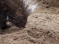 Cape Porcupine (Hystrix africaeaustralis) (Annette Rumbelow) Tags: cape spines wiltshire porcupine quills longleatsafaripark hystrix africaeaustralis annetterumbelowwilson longleatgrounds