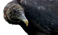 Vulture Portrait (dianne_stankiewicz) Tags: portrait bird nature beak raptor vulture allnaturesparadise