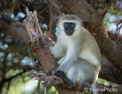 African monkey (KronaPhoto) Tags: africa tree cute nature tanzania monkey climb natur safari ape serengeti tre dyr klatre apekatt