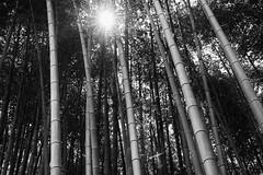 (sunnywinds*) Tags: leica orange kyoto bamboo  monochrom  daitokuji     aposummicronm1250asph mm246 typ246