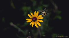 Black-Eyed Susan (nightburstmanny) Tags: flower nature landscape sunflower blackeyedsusan