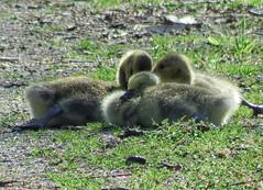 We're tired (kendoman26) Tags: geese fuji goslings fujifinepix imcanal iandmcanal imcanaliandmcanal fujifinepixs1