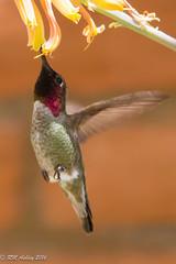 IMG_3168.jpg (ashleyrm) Tags: travel arizona birds museum sonora desert tucson hummingbirds birdwatching avian tucsonarizona hummingbirdaviary