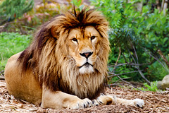 Male Lion, Sora of Zoorasia :   (Dakiny) Tags: park male nature animal japan mammal zoo spring nikon feline outdoor lion bigcat april beast yokohama tamron kanagawa sora 2016 zoorasia savagebeast a005 beastofprey yokohamazoologicalgardens d7000 nikonclubit modela005 sp70300mmf456divcusd asahiward