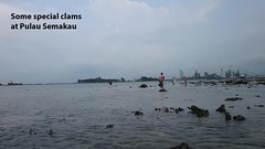 Fluted giant clam (Tridacna squamosa) and Scallop (Family Pectinidae) (wildsingapore) Tags: nature marine singapore underwater wildlife north coastal shore intertidal seashore pulau mollusca bivalvia marinelife tridacna semakau wildsingapore pectinidae tridacnidae squamosa