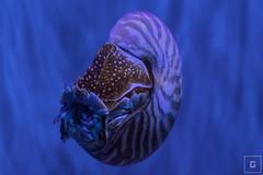 Monaco (Montecarlo), Muse Ocanographique (mrsgcr) Tags: macro nature museum aquarium cotedazur montecarlo monaco nautilus frenchriviera museeoceanographique