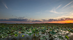 Fogg Dam (R. Francis) Tags: sunset waterlily lily lotus nt pad lilypad northernterritory topend foggdam ryanfrancis ryanfrancisphotography